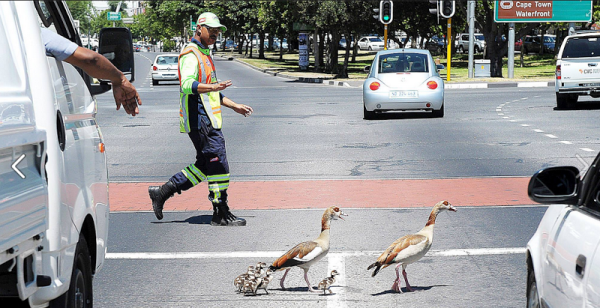 A Traffic Freeflow 'pointsman' helps Egyptian geese and their goslings cross a busy Cape Town road.